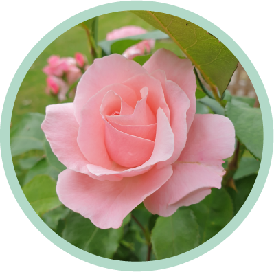 Funeral Services - pink roses